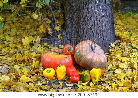 The harvest of pumpkin and pepper lies among the leaves near the tree It is a herbaceous plant and the most valuable ancient agricultural kultury.Polody mature most of the fall-August September October. The pumpkin and pepper is a unique and useful food p