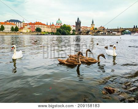 Swans on Vltava river, towers, Charles Bridge and Prague Old Town in the background, Czech republic. Beautiful urban landscape. Romantic place.