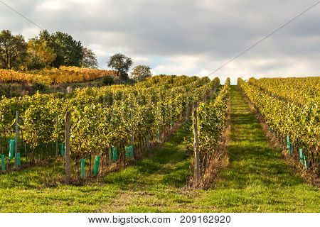 Evening on vineyards in the Czech Republic. Cloudy. Wine growing. Wine country