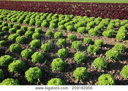 Fresh Lettuce on the Field in Germany