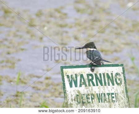 Green Kingfisher Chloroceryle american fishing in the rain in central Trinidad on a warning deep water sign.