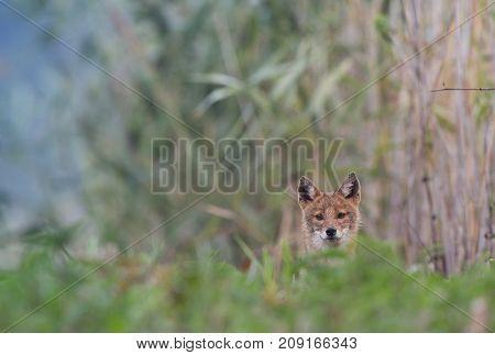 European Jackal Hiding In Reed