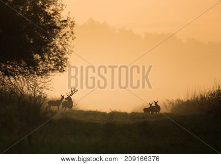 Silhouette Of Red Deer And Hinds On Meadow