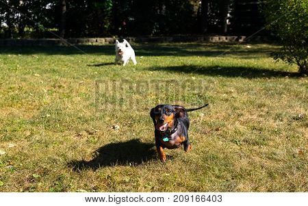 Little Black Dachshund And West Highland White Terrier Playing On A Backyard