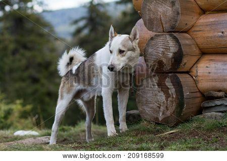 west siberian laika, russian hunting dog, wild wolfdog
