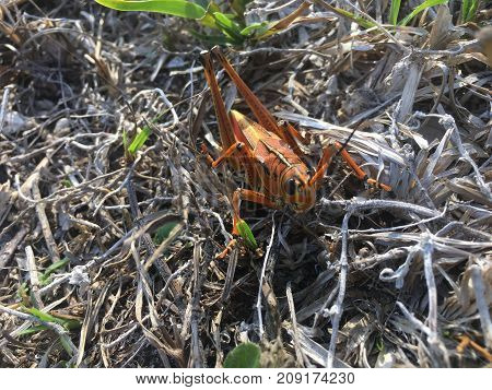 Giant orange lubber grasshoppers mating in the swamps of Florida poster