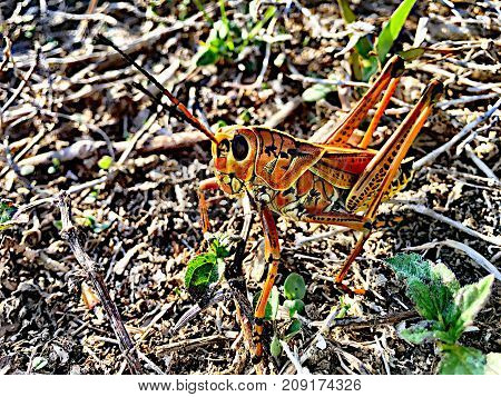 Two Grasshoppers Mating On The Grass