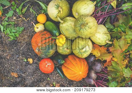 Beautiful mixed colors of ripe pumpkins lying on the grass on the farming plot to the day of Thanksgiving. The horizontal frame.