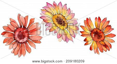 Wildflower gerbera flower in a watercolor style isolated. Full name of the plant: gerbera. Aquarelle wild flower for background, texture, wrapper pattern, frame or border.