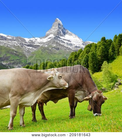 Cow grazing in the meadow. In the background of the Matterhorn - Pennine Alps, Switzerland