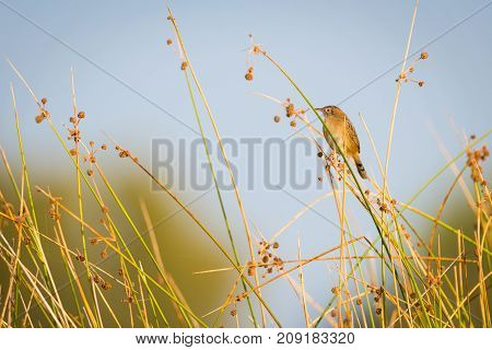 buitron Zitting cisticola or fan-tailed warbler Cisticola juncidis