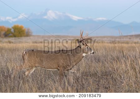 White-tailed Deer Buck on the Colorado Prairie with Longs Peak in the background.