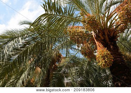 Date palm with fruits. Tropical green background