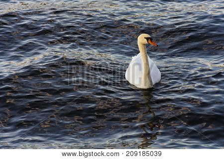 White swan on flowing water. The river Vltava.