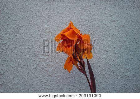 Orange flower. Tropical plant with one orange flower.