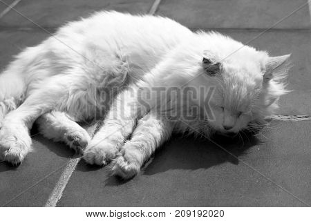 Turkish Angora. White cat. A seventeen-year-old cat relaxes and enjoys life. Black and White.
