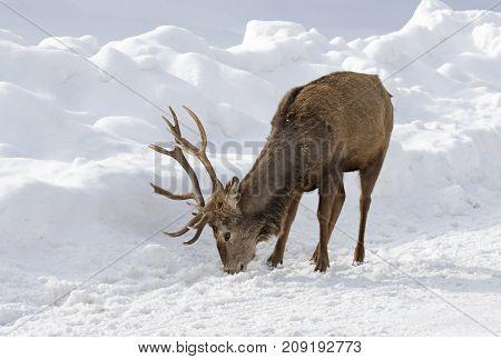 Red deer licking road salt in the winter snow