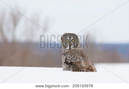 Great grey owl (Strix nebulosa) sitting in a snow covered field