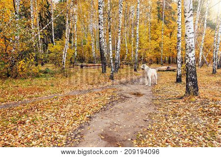 Lonely dog on the path in the autumn forest.
