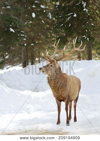 Red deer standing in there winter snow