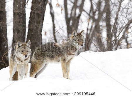 Two Coyotes walking in the winter snow