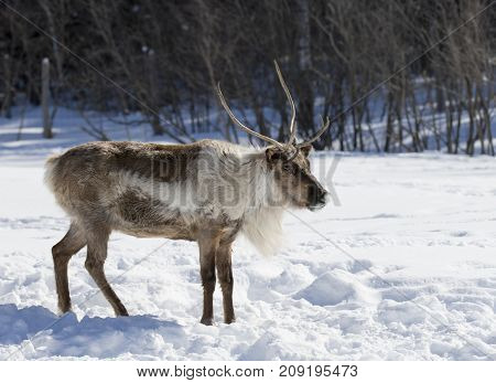 Caribou standing still in the winter snow