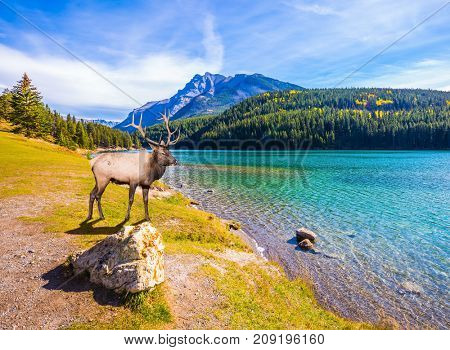 A magnificent noble deer with branched horns resting by the lake. The picturesque lake with emerald water in the Rocky Mountains. The concept of ecological and active tourism