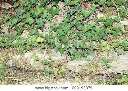 background of ancient stone with ivy wall in Italy