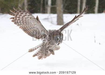 Great grey owl (Strix nebulosa) preparing to pounce on its prey in the snow