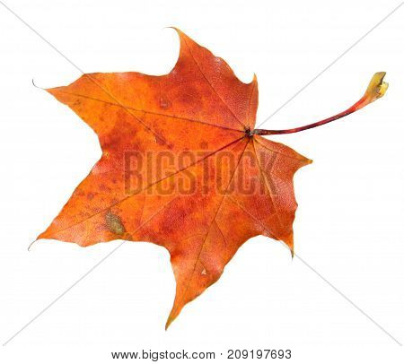 Red autumn leaf of Norway maple or Acer platanoides isolated on white background