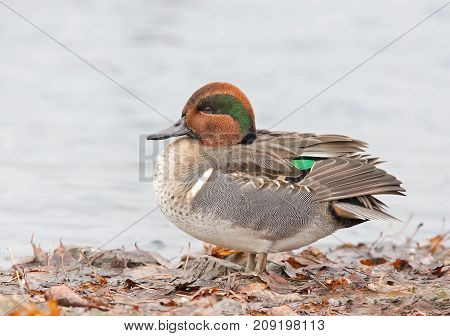 Green-winged teal male resting on side of pond