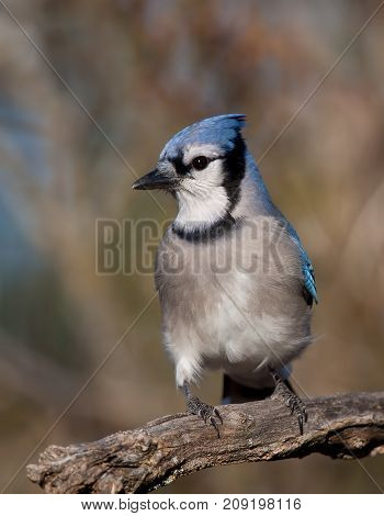 Blue Jay - Cyanocitta cristata perched on a branch in spring