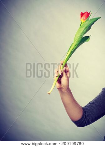 Nature and flora. Female hand holding single red green tulip flower on gray grey background.