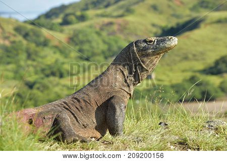 Komodo Dragon ( Varanus Komodoensis ) In Natural Habitat. Biggest Living Lizard In The World.  Islan