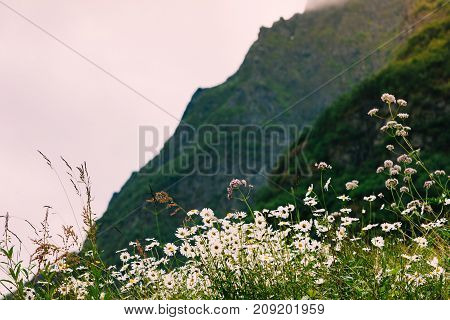 Spring Flowers In Norwegian Mountains