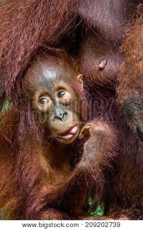 Orangutan Cub At Mother On A Breast. Mother Orangutan And Cub In A Natural Habitat. Bornean Oranguta