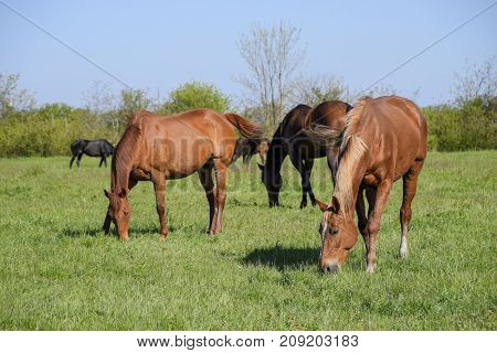Horses Graze In The Pasture. Paddock Horses On A Horse Farm. Wal