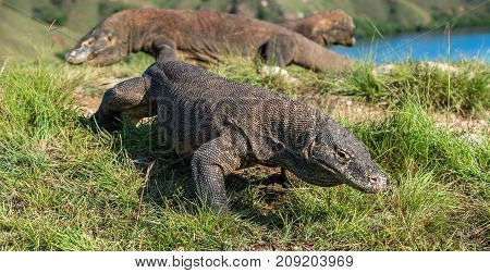 Portrait Of The Komodo Dragon ( Varanus Komodoensis ) Is The Biggest Living Lizard In The World.  On