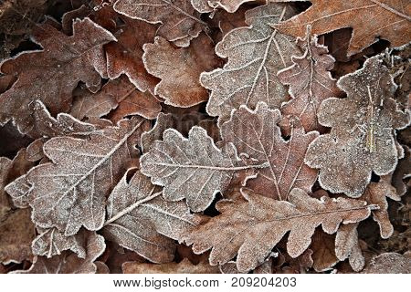 Fallen leaves frozen on the ground