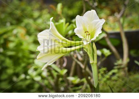 Close up white hippeastrum johnsonii bury flower in garden