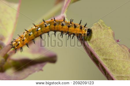 Five days old Gulf Fritillary butterfly caterpillar eating a Passion flower leaf, dorsal view