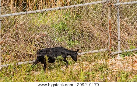 Single Black Goat Next To Wire Fence