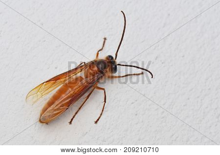 common brown hornet from Borneo isolated on white background