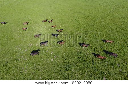 Grazing Horses On The Field. Shooting Horses From Quadrocopter.