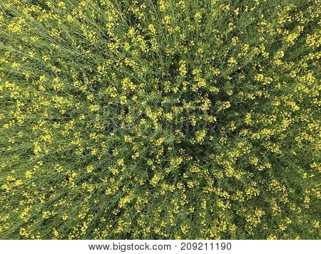 Field Of Flowering Rape. Top View From The Drone. Rape, A Sydera
