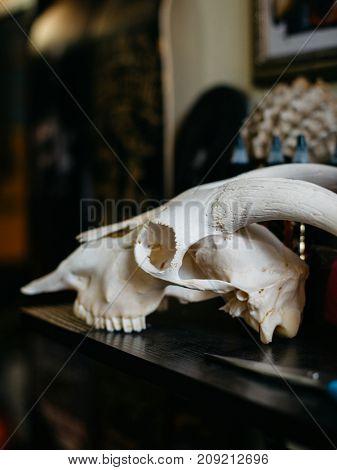 Bull Skull on the table