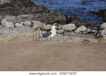 This is an image of a healthy seagull taken near the waters of Pacific Grove, California on a clear sunny day.