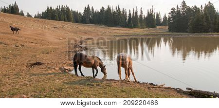 Liver Chestnut Bay Roan mare and Red Roan stallion drinking at the waterhole in the Pryor Mountains Wild Horse Range in Montana United States