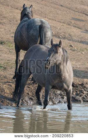 Gray Silver Grulla Mare Wild Horse At The Water Hole In The Pryor Mountains Wild Horse Range In Mont