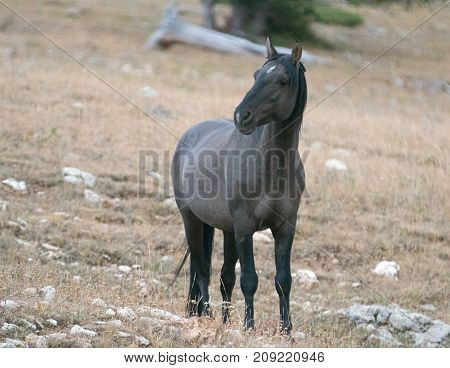 Young Gray Silver Grulla Mare Wild Horse At Evening Dusk On Sykes Ridge In The Pryor Mountains Wild